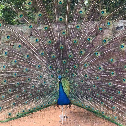 the-peacock-thumbnail
