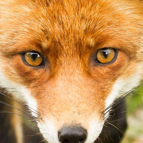 fox-goose-thumbnail